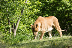 Curiosity and all that (Denzil Burriss) Tags: nature animal cat canon zoo wildlife lion may kansascity missouri dslr curiosity lioness kansascityzoo 2013
