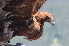 Aigle royal (Steeve05) Tags: royal aquila aigle rapace accipitrids