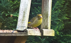 2013 05 17_Greenfinch_0006 (Keith Laverack) Tags: greenfinch 1facebook 1flickr 1keithlaverack 1wilberfoss