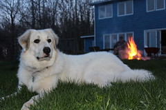bonfire dog (ekpatterson) Tags: dog may sadie bonfire greatpyrenees 2013