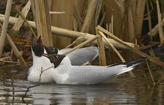 f_hettemake_gull_Chroicocephalus ridibundus_4905 (Ljostad) Tags: bird nature oslo norge gull natur fugl ornithology hettemke stensjvannet chroicocephalusridibundus