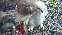 BR prey & young (Cornell Lab of Ornithology) Tags: red bird big university feeding cams cornell prey redtailedhawk nestlings labofornithology cornelllabofornithology