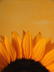 Sunflower.   (Anna Dimitri) Tags: from flower boyfriend nature yellow photography olympus sunflower present my