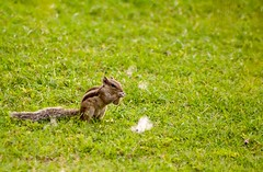 Nibble Nibble!!! (Karthik Prashanth) Tags: grass canon campus eos squirrel raw lawn sigma nibble gurgaon 70300mm mid lightroom 1000d