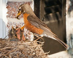 Kids Are Growing Up (Jim McConnell) Tags: bird nature robin nikon nebraska babies nest feeding flash mother d300s