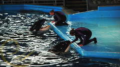 Takara and Unna6 (GypsySkye7) Tags: sanantonio believe orca seaworld shamu takara killerwhale unna captivity