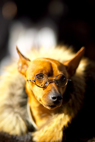 A dog well-matched with pince-nez