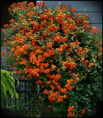 Heights Orange Star Flowering Bush (oldusephemera) Tags: city blue original light shadow red portrait people favorite woman dog pet house man flower detail cute art nature face leaves weather animal yellow closeup contrast cat fence pose garden dark bench photo funny colorful child purple artistic candid best deli emotional darling bnw viral