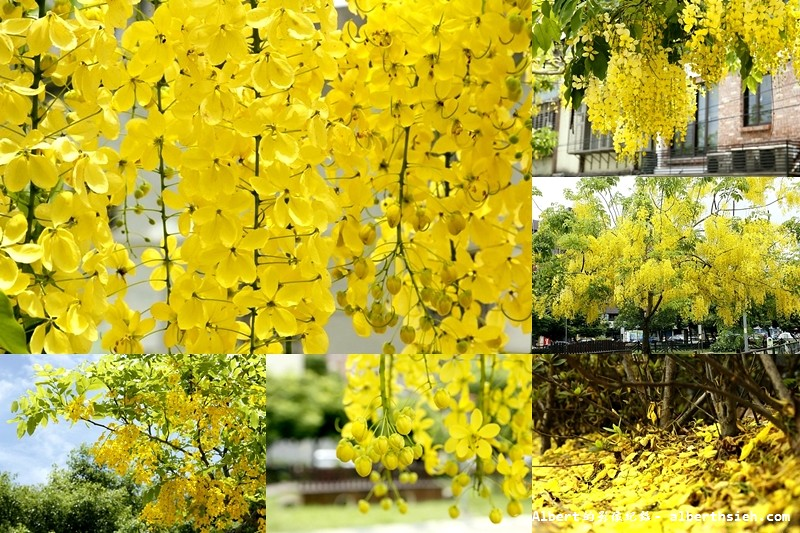 【阿勃勒】桃園市.陽明公園(美麗浪漫的黃金雨)
