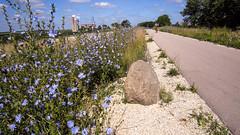 Blue Chicory along the Cardinal Greenway (WayNet.org) Tags: bicycle rural unitedstates indiana trail cardinalgreenway williamsburg economy railtrail waynecounty 775 waynet newmanroad