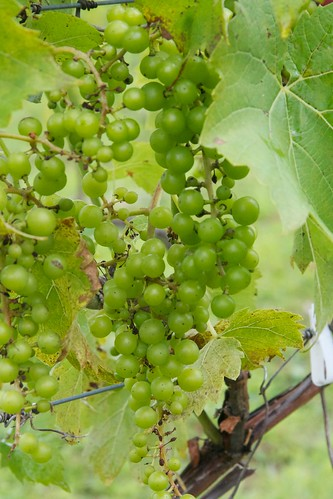 Petite Riviere vines