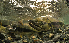Not What She Was (Fish as art) Tags: fish river britishcolumbia pacificnorthwest alaskasalmon keta britishcolumbiasalmon oregonsalmon paulvecseiphotography underwaterphotographypaulvecsei moldychumsalmon