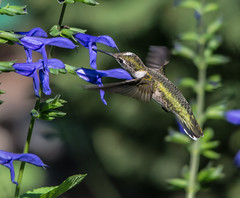 Chicago Botanic Garden 3 (Jan Crites) Tags: flowers chicago bird nature garden illinois nikon hummingbird zoom glencoe botanicgarden chicagobotanicgarden rubythroatedhummingbird d600 sigma150500