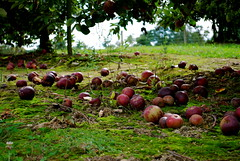 orchard. (millieu) Tags: fall northcarolina orchard hendersonville
