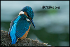 Kingfisher-Watching-for-Fis (David E Cassells) Tags: