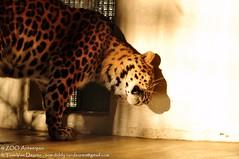 Amoerluipaard - Panthera pardus Orientalis / amurensis - Amur leopard (MrTDiddy) Tags: male cat mammal zoo big kat leopard bigcat panther antwerpen zooantwerpen amur grote panter luipaard panthera mannelijk pardus zoogdier orientalis amurensis amoer jarolim grotekat amoerluipaard jarulim