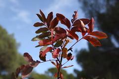 Hojas colors (olgaberrios) Tags: rboles villa visita dehesa arbustos itinerario guiado