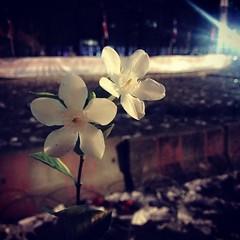 """แปลกใจอยู่เหมือนกัน กับดอกไม้กระถางนี้ ซึ่งตั้งอยู่บนกำแพงคอนกรีต (ไม่ใช่ คอ-นก-รีต นะ 555) บนสะพานมัฆวานฯ ระหว่าง""""กลุ่มผู้ชุมนุม""""กับ""""ตำรวจ"""" ,,,เชื่อเสมอว่าท่ามกลางความขัดแย้ง เราจะมีทางออกของประเทศที่สวยงามดุจดอกไม้กระถางนี้ ขอให้ประเทศไทยกลับมาเป็นสยามเ"""