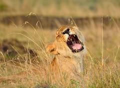 A smile in the grass (Park Doc) Tags: africa park light wild portrait sun cute nature colors beauty animal closeup fauna spectacular golden nikon kenya lion young safari national mara savannah serengeti tamron vc maasai usd 70300 f456 d7100