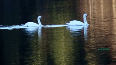WBY7832-16 5D3-28 Swans in a golden lake (wbyoungphotos) Tags: lake lens golden swans paridise 28200mm 5d3 wbyoungphotos