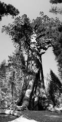 hugesequia1pano (amandabyrdseye) Tags: blackandwhite oldtree sequoia hugetree sequoiatree