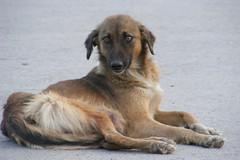 taking rest (Umer Wajid Qadri) Tags: road dog resting middle islamabad iiui