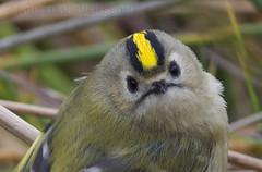 Goldcrest (Regulus regulus) (macronyx) Tags: bird nature birds wildlife birding aves regulus birdwatching vogel oiseaux goldcrest fåglar regulusregulus kungsfågel