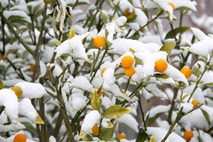 Omiya Big Snow (Norio.NAKAYAMA) Tags: snow japan  saitama heavy  omiya