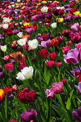 Keukenhof Tulips (michaelshaffer) Tags: outdoors photography michael photo stock albumcover bookcover greatphoto shaffer bestphoto michaelshaffer michaelshaffer77