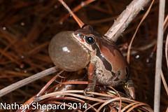Pseudacris ornata (Nathan Shepard) Tags: winter male chorus canon nathan frog february ornate calling rare shepard protected 2014 pseudacris declining 70d ornata anuran