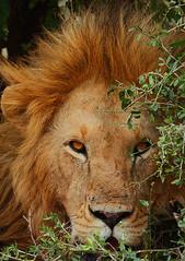 Feral looks! (Rainbirder) Tags: kenya africanlion maasaimara pantheraleo rainbirder
