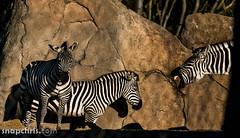 Do zebras laugh at Zebra jokes (tibchris) Tags: sanfrancisco california animals zoo nikon sanfranciscozoo 200mm snapchris