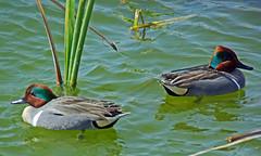 Green-winged Teal (foroyar22) Tags: bird teal g kellogg kelloggcharles kelloggcharlie greenwingedtealtexascopyright 2014usacharles