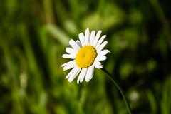 2014_027 (casirfm) Tags: flowers primavera canon daisy aprile fiore springtime 2014 casirfm canoneos1100d