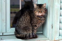 Eszti the Cat (tamasmatusik) Tags: pet cat macska cica háziállat nemesnép
