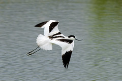 AVOCETTA (d.carradori) Tags: beautiful natura uccelli tuscany toscana atmosfera danilo avocetta acquatici uccelliacquatici eliteimages carradori