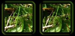 Grasshopper In Grass 1 - Parallel 3D (DarkOnus) Tags: macro closeup manipulated insect lumix stereogram 3d pennsylvania grasshopper parallel stereography buckscounty dmcfz35