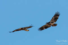 Juvenile Bald Eagles Play in the Sky Sequence - 10 of 10