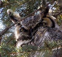 Hiding (begineerphotos) Tags: canada calgary bird eye eyes alberta owl 1001nights birdofprey greathornedowl 15challengeswinner