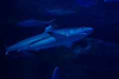 Requin pointe-noire (2) (Mhln) Tags: paris aquarium requin poisson trocadero poissons meduse 2015 cineaqua