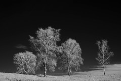 the outsider (crosslens) Tags: trees bw landscape ir infrared birch kln