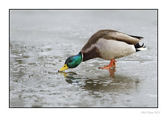 Bill to Bill (Seven_Wishes) Tags: newcastleupontynenortheast paddyfreemanpark ukbirds duck mallard malemallard waterfowl pond frozen icy reflection winter cold 2015 photoborder aquaticbird animal bird outdoor edoliverphotography views3k