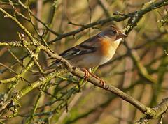 Female Brambling (Feathers (Joe)) Tags: wild bird nature garden wildlife feathers hide care eastsussex salehurst