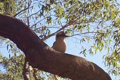 Kookaburra Baby (everyday sh_ter) Tags: park beach forest sydney waterfalls kookaburra wattamolla garie royalnationalpark audley stanwell hackerriver