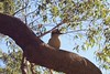 Kookaburra Baby (everyday sh⊙_☉ter) Tags: park beach forest sydney waterfalls kookaburra wattamolla garie royalnationalpark audley stanwell hackerriver