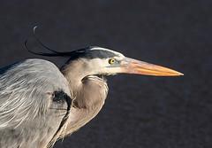 gbh profile in the wind (fins'n'feathers) Tags: heron nature birds wildlife profile greatblueheron savannahnationalwildliferefuge