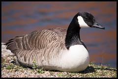 Canada Goose (GadgetHead) Tags: bird nikon clayton lancashire dslr canadageese lancs greatermanchester ashtoncanal droylsden 55300mm 55300mmlens d3100 nikond3100 55300mmf4556 55300mmvrlens 55300mmvrf4556