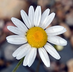 Daisy with Rain Drops (Pat's Pics36) Tags: canada flower bc bokeh britishcolumbia daisy raindrops stives shuswaplake nikond7000 nikkor18to200mmvrlens