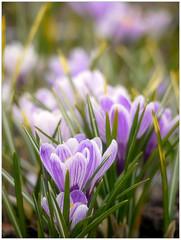 (melolou) Tags: light flower spring purple crocus