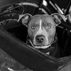 Hond op de pont (doevos) Tags: netherlands amsterdam hond pont nl ij noordholland gvb karretje pontveer